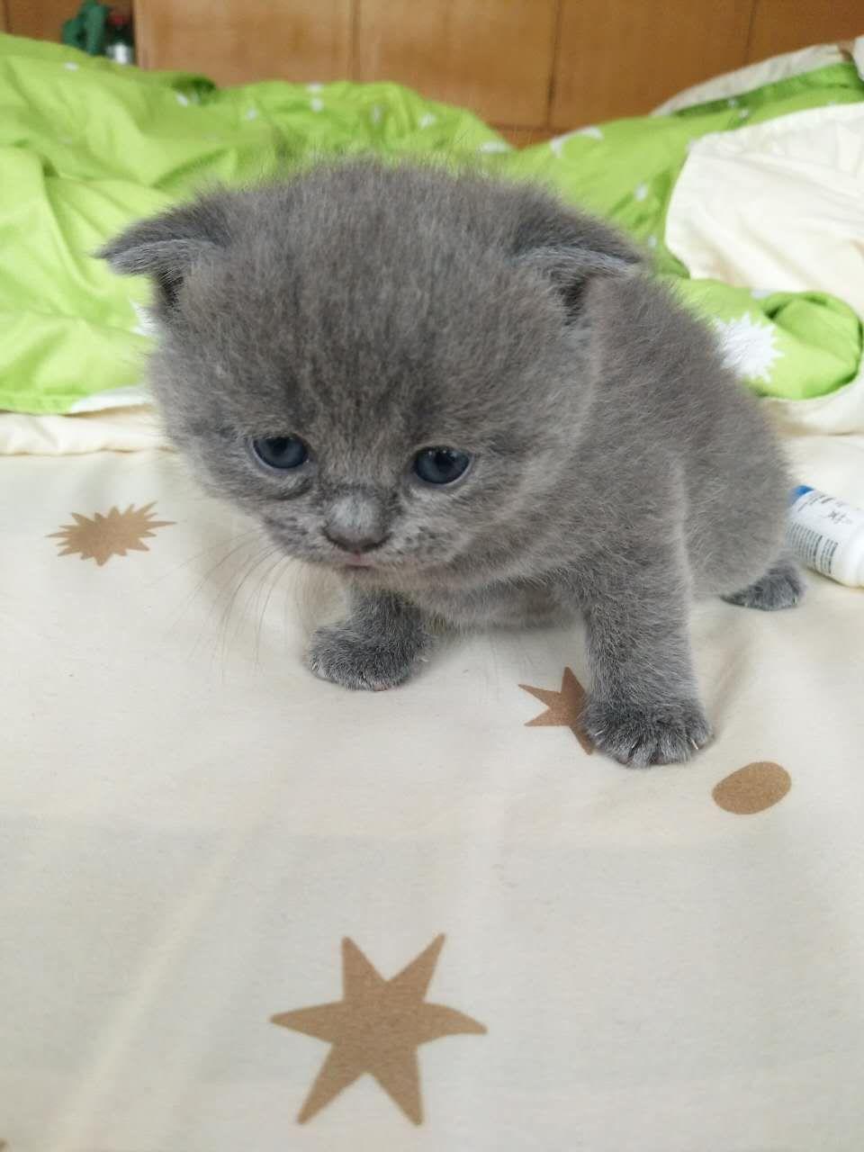 分类信息首页 宠物世界 宠物猫 >> 详细信息  英短蓝猫可爱卡哇伊纯正