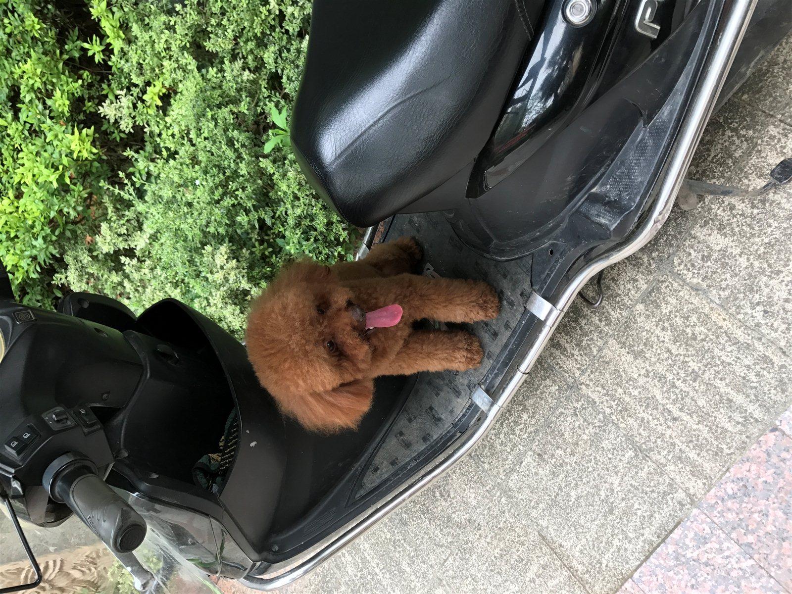 尋找棕色泰迪狗