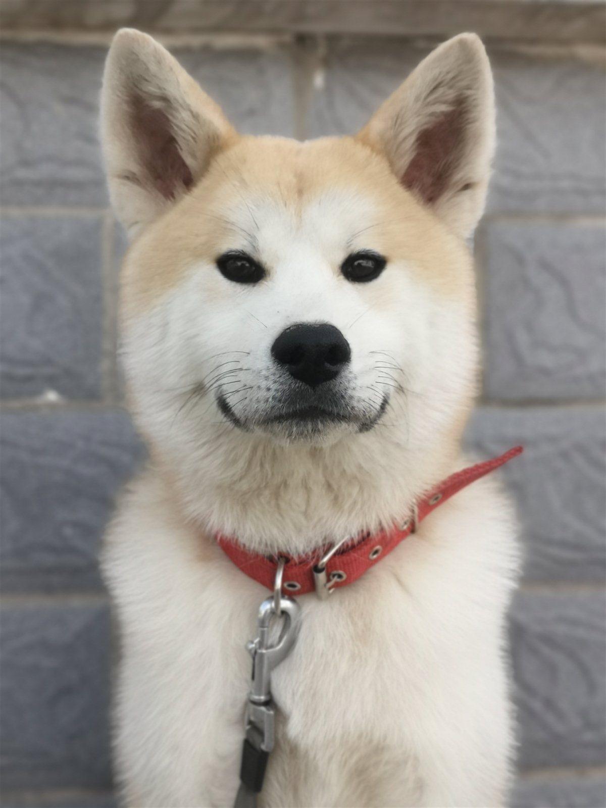 一歲秋田犬