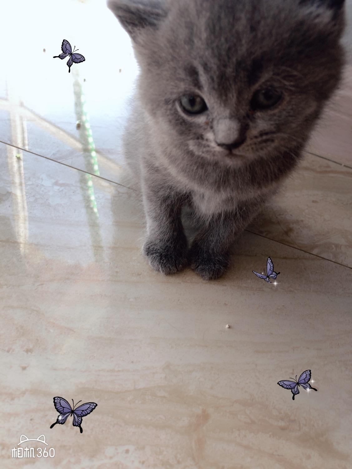 純藍貓出售