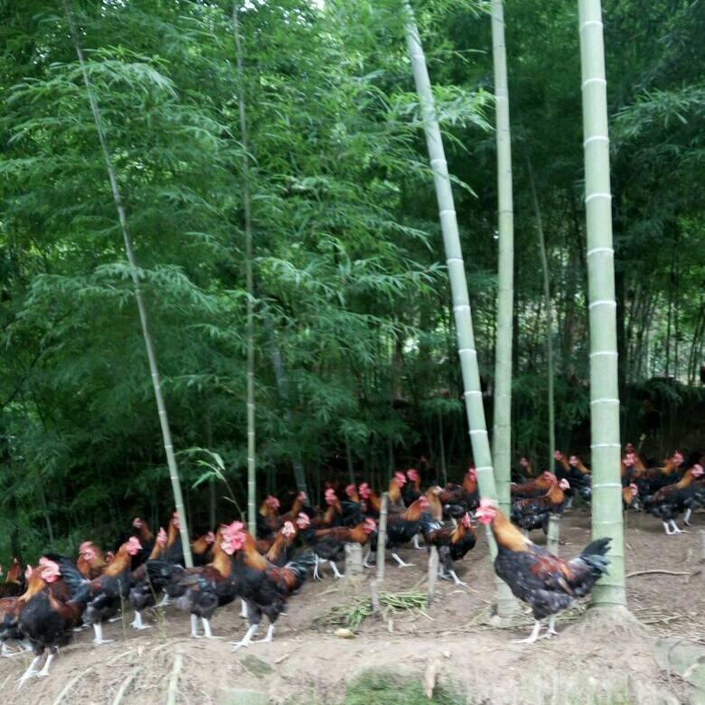 澳门威尼斯人赌城青山放养土鸡