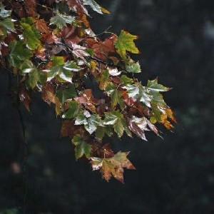 树叶的一生