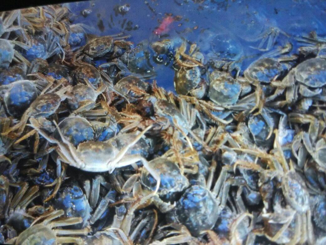 桥子祁家坝螃蟹养殖场