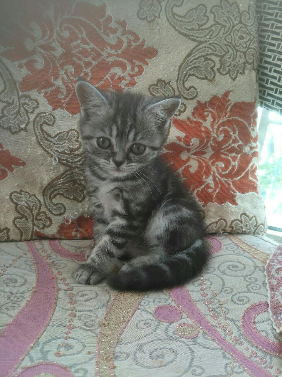 出售美短小貓