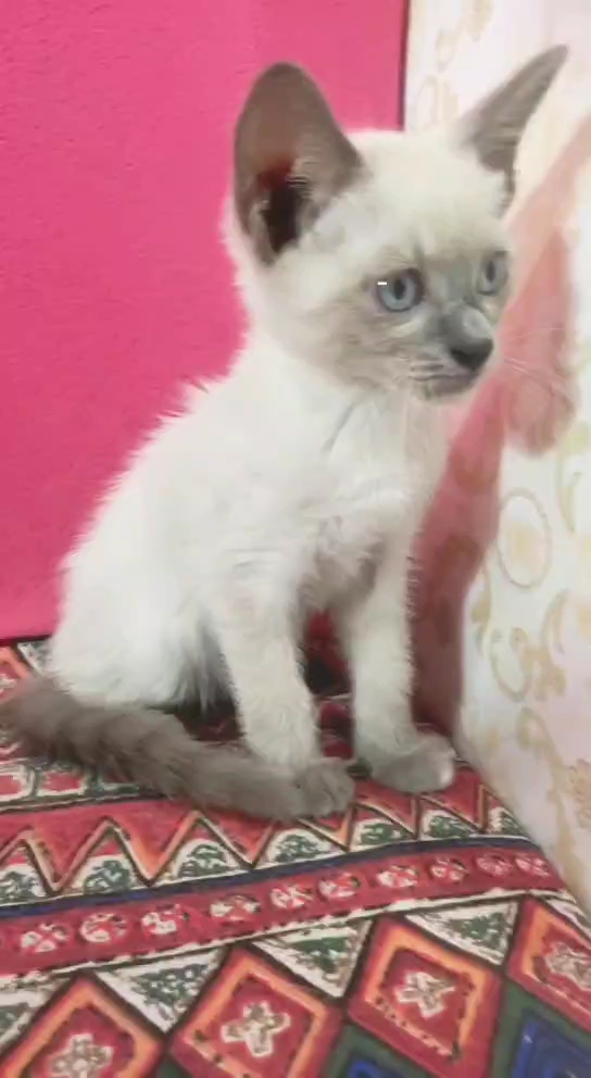 暹罗猫特别温柔 品相上等,等待它的主人