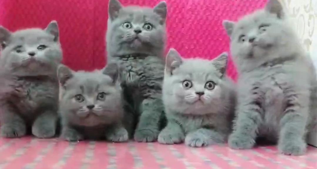 一窝包子脸蓝猫,超级粘人。
