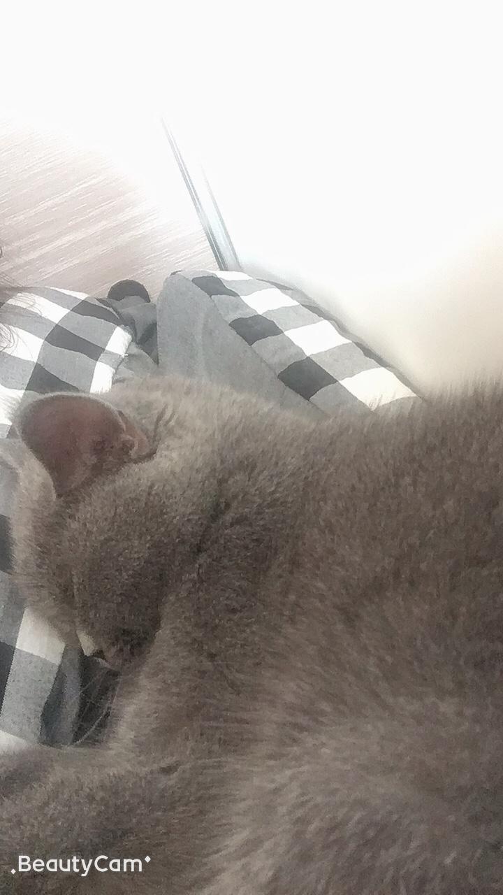 出售英短藍貓七個月大