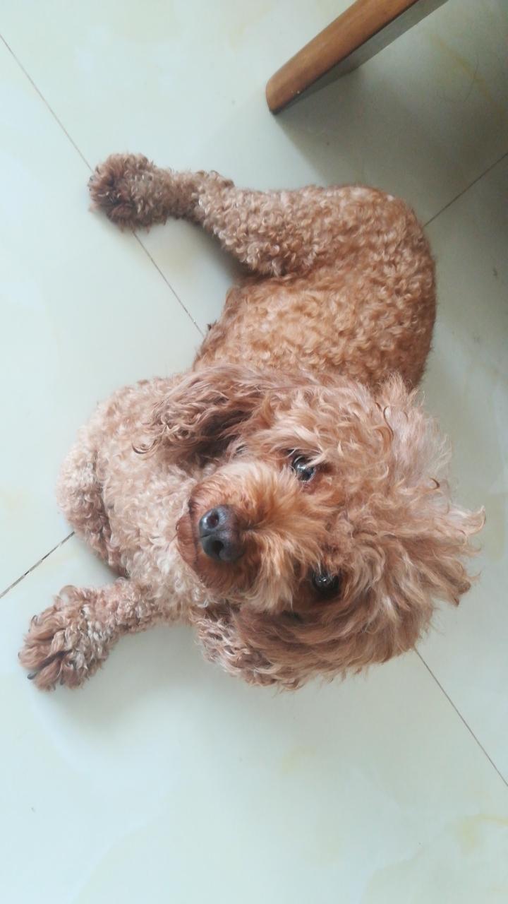2岁泰迪母□ 犬