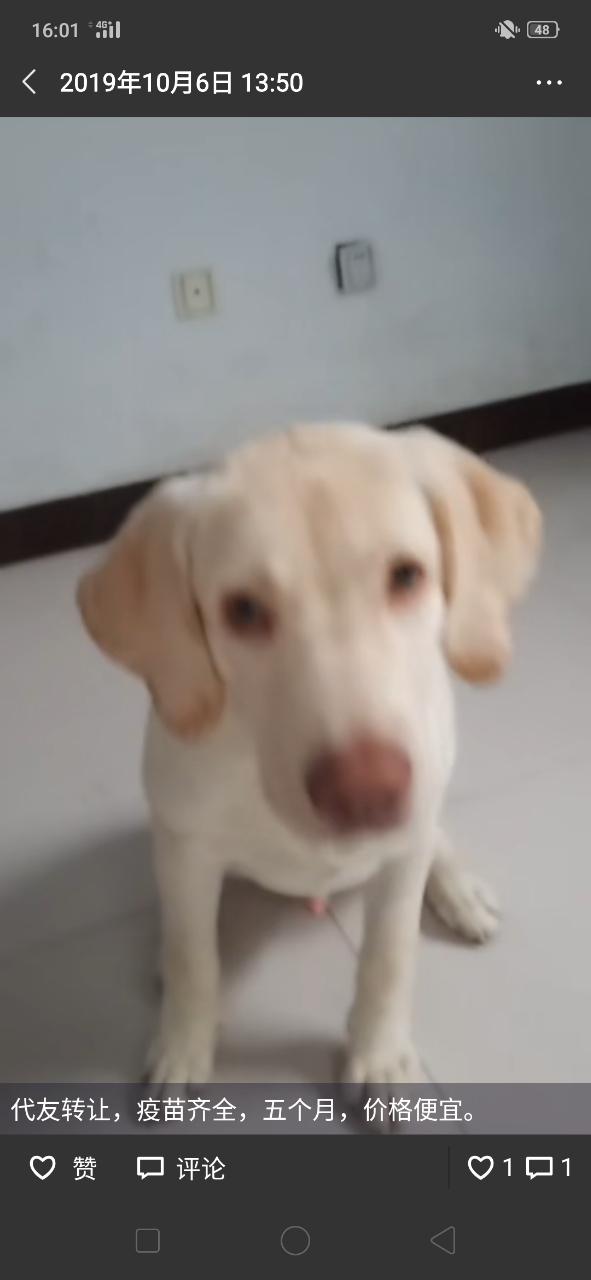 出售一只六個月的拉布拉多公狗,