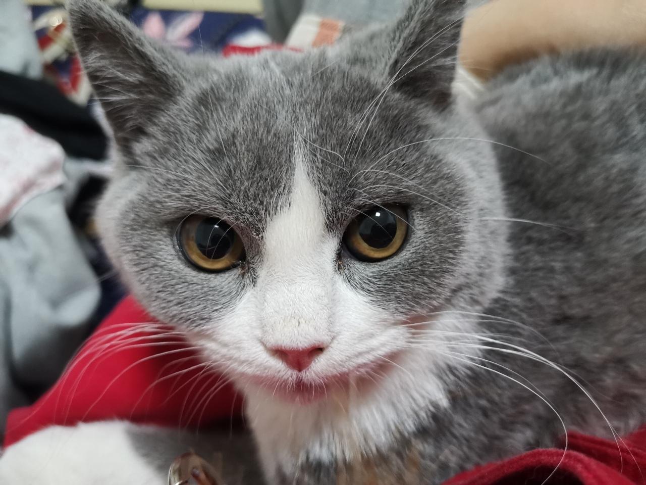 出售蓝白猫