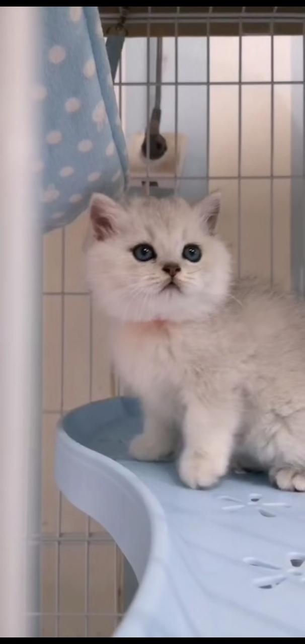 銀漸層金漸層起司貓貓,都是大包子臉