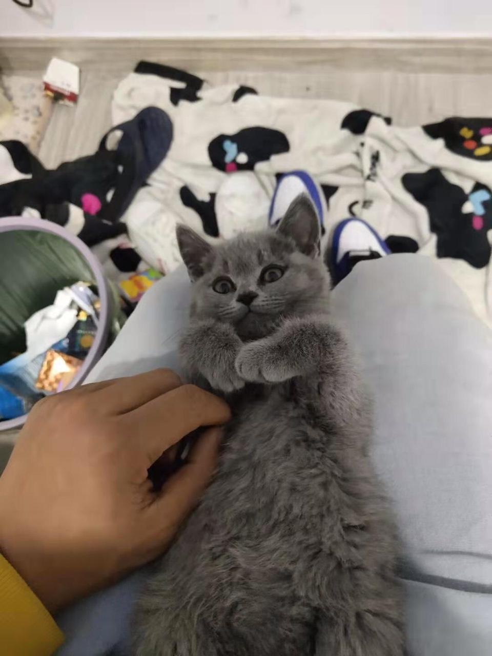 英短 蓝猫