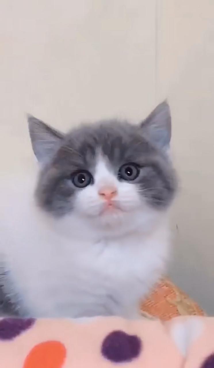 自家英短的小猫,蓝白蓝猫 美短加白小可爱
