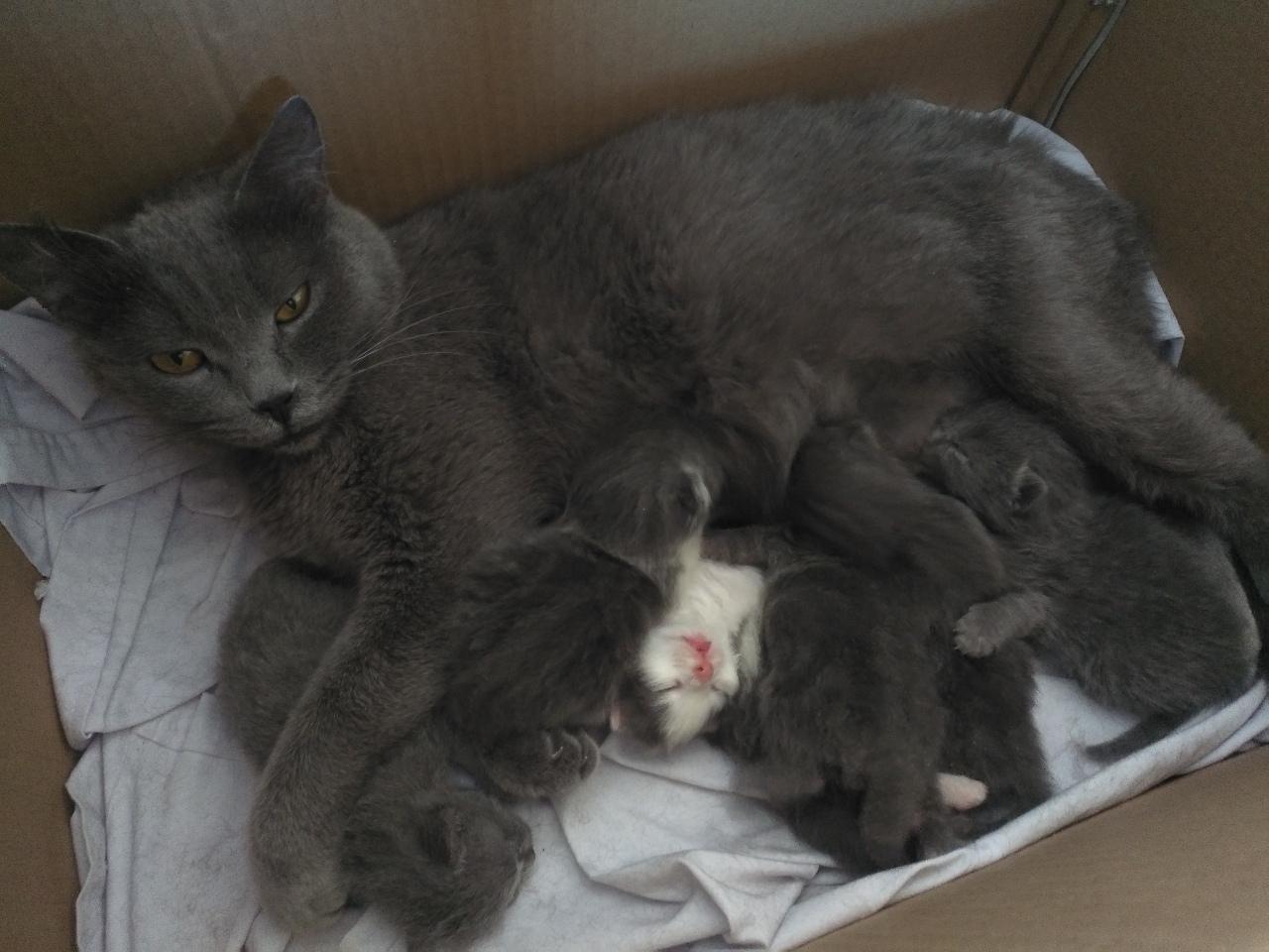 家养宠物猫蓝猫崽蓝白满月后出售
