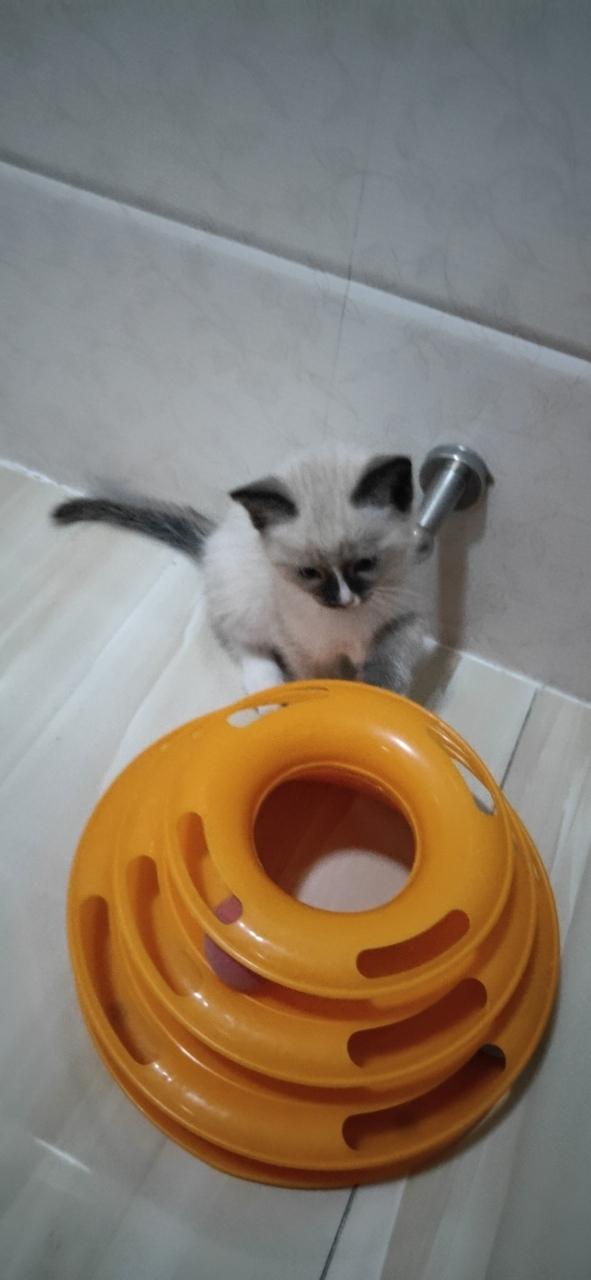 自家布偶小貓出售