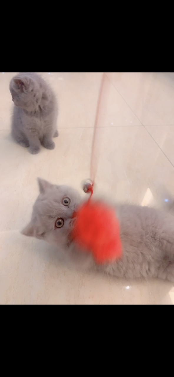 自家繁殖的纯种蓝猫