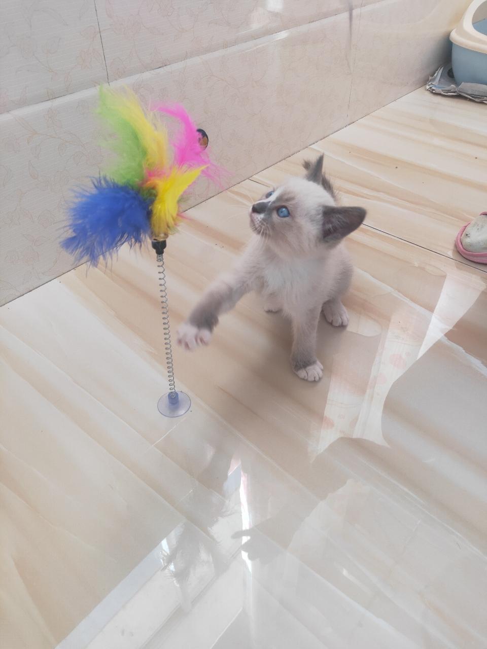 布偶小貓貓出售