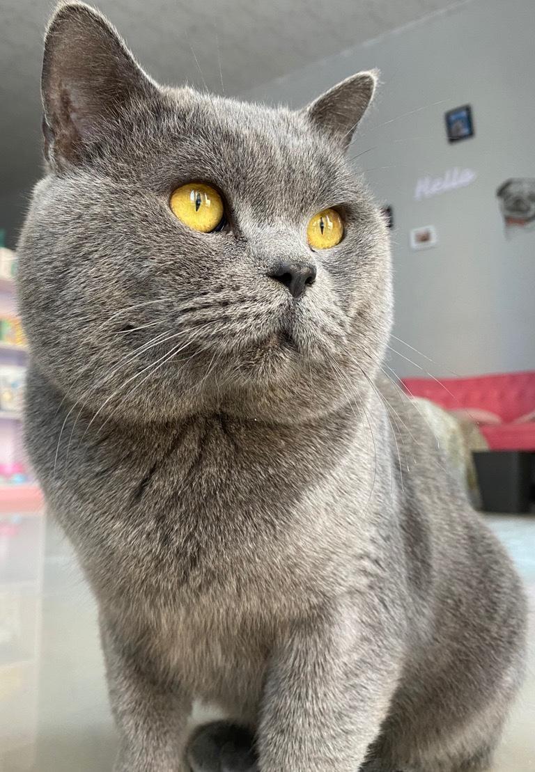 英短蓝猫种公借配,对小母猫温柔