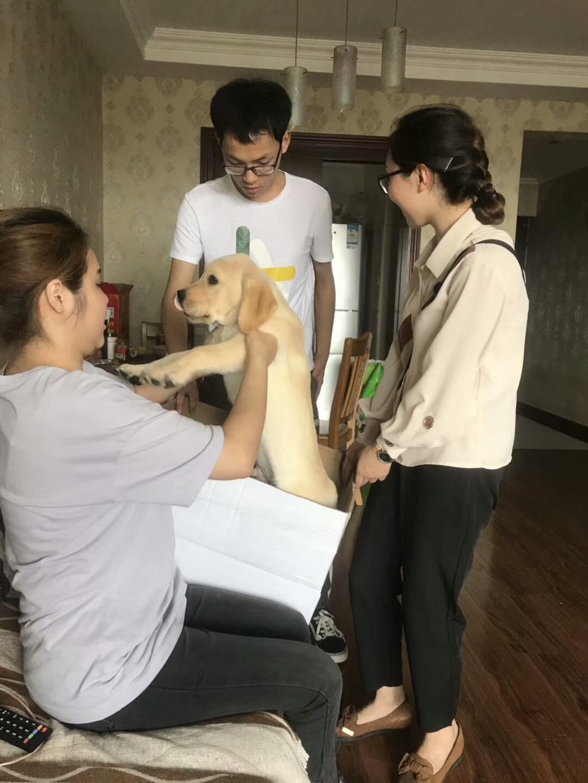 家養拉布拉多幼犬出售