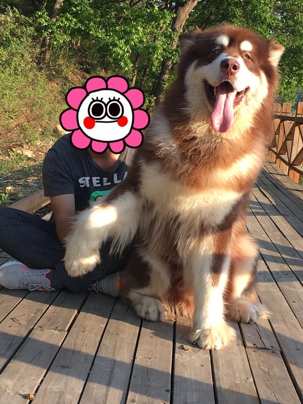 巨型阿拉斯加犬