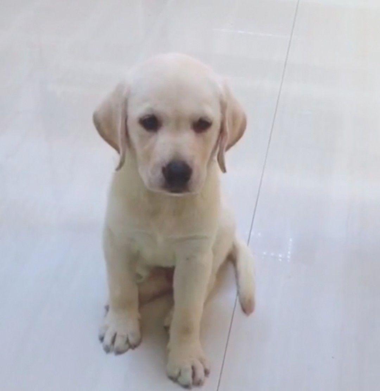 拉布拉多寵物犬