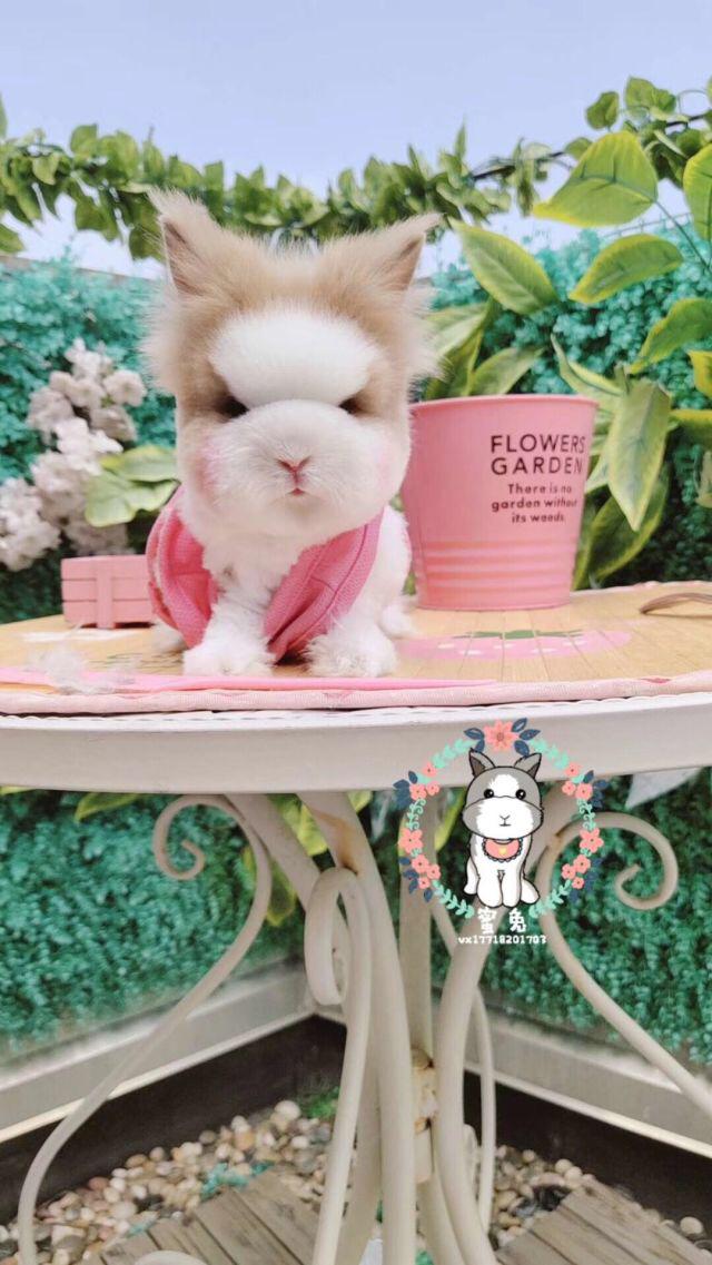 纯种猫猫兔