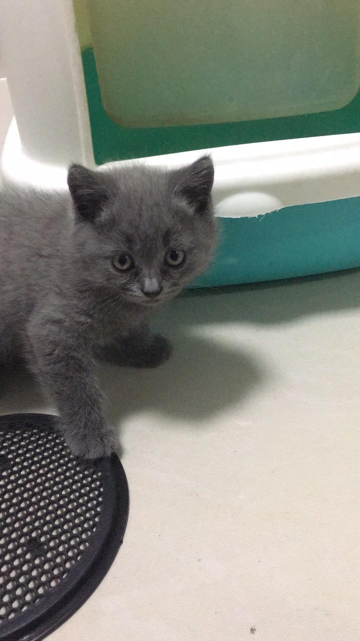 出售英短藍貓四個月大