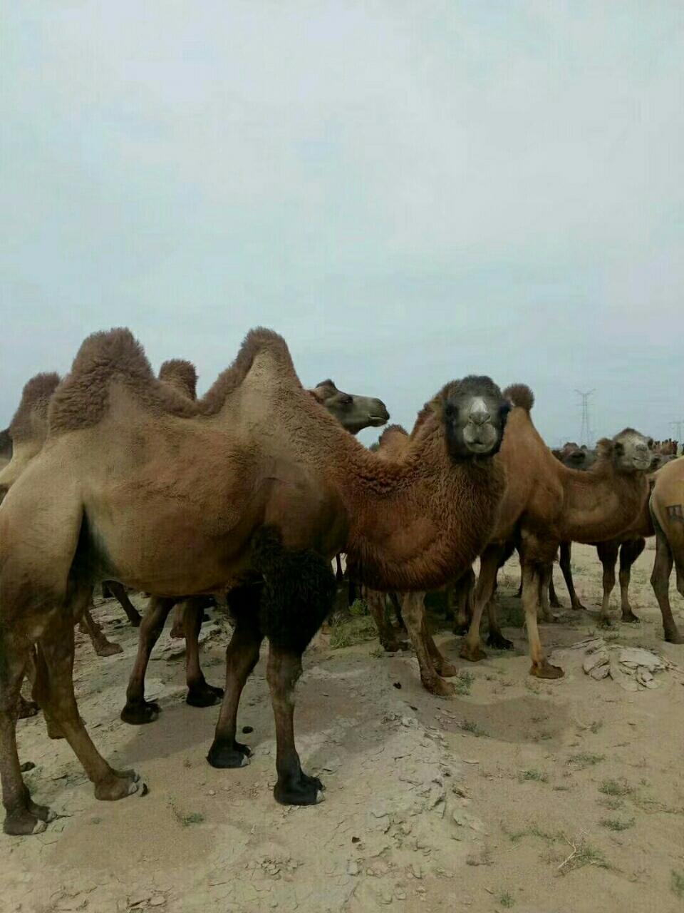 整群骆驼出售
