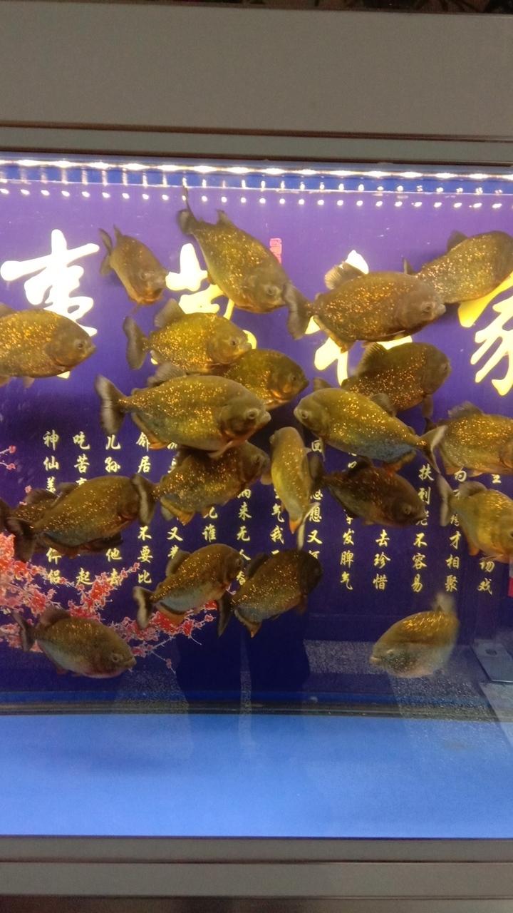 紅腹食人魚