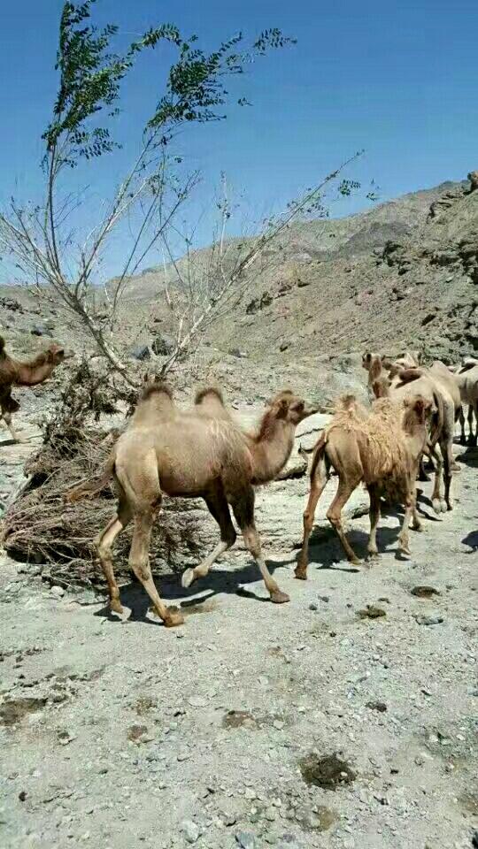 整群骆驼出售。也可兑换一套房子100平3