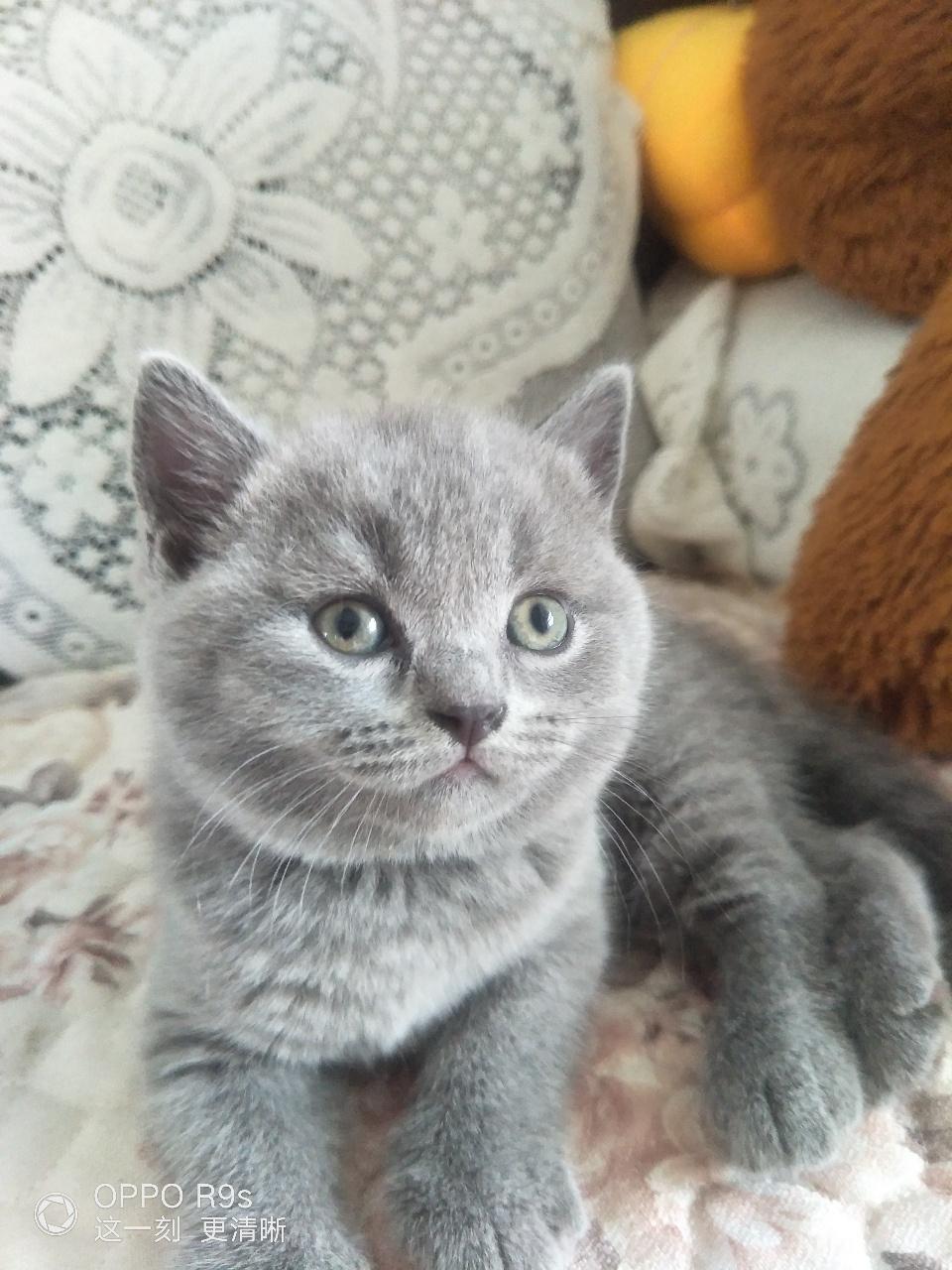 纯种蓝猫公母都有