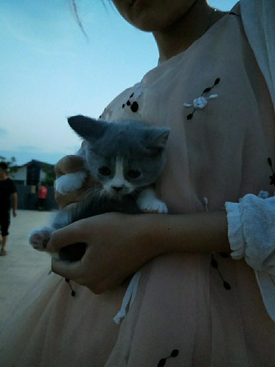 自家藍貓生的藍白寶寶