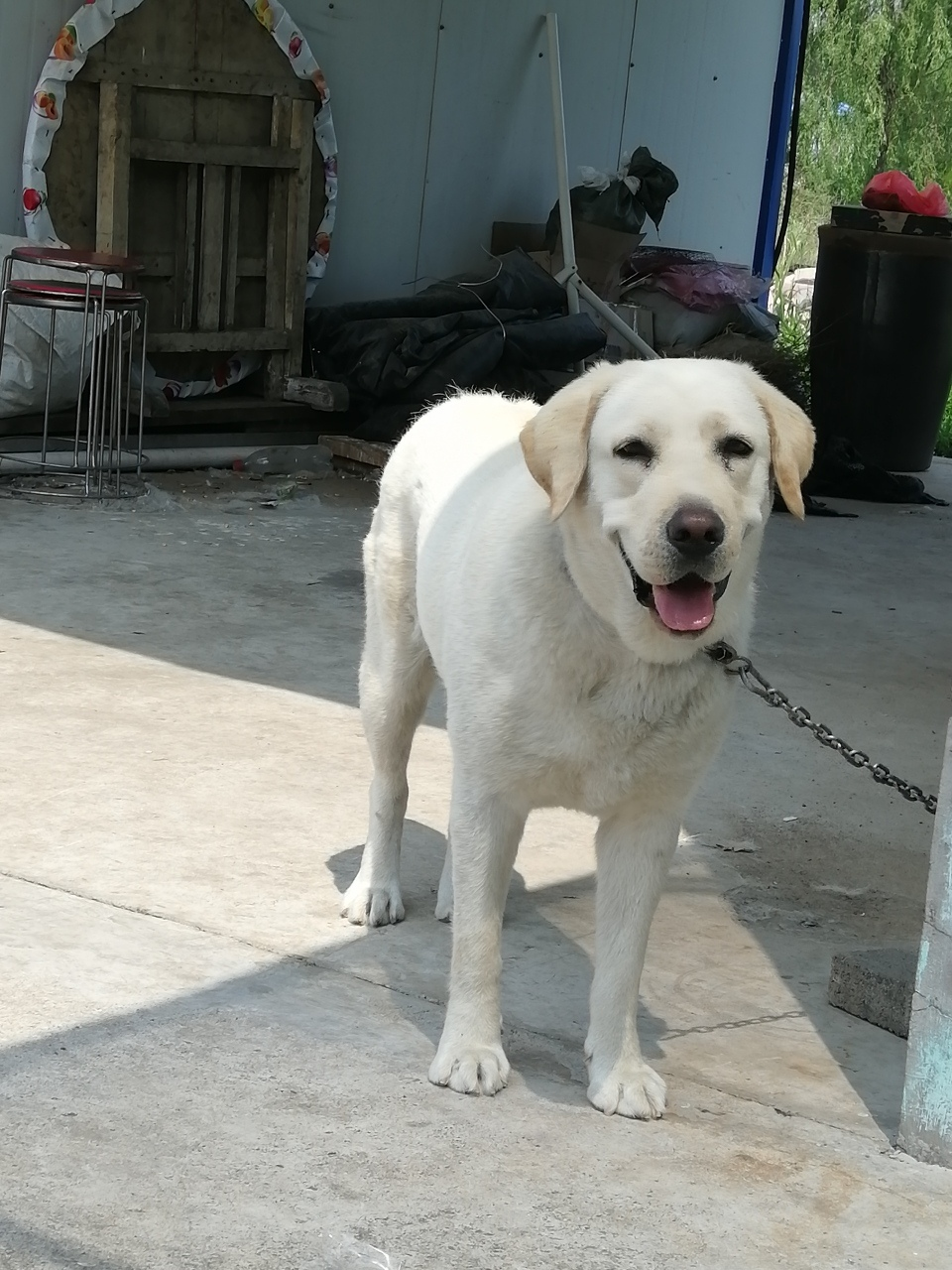 拉布拉多母狗