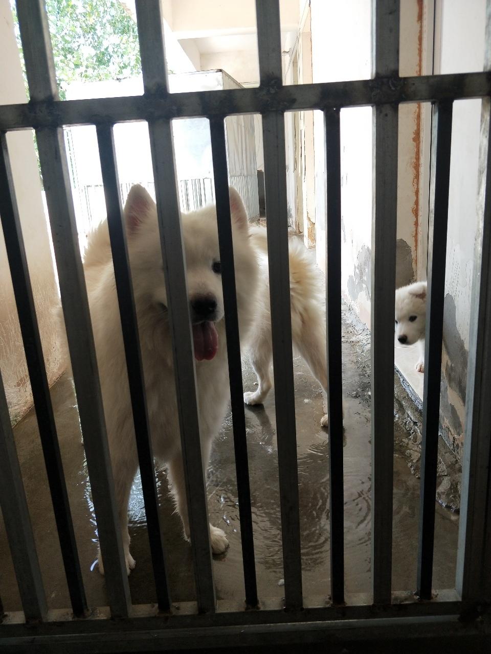 出售薩摩耶幼犬兩只