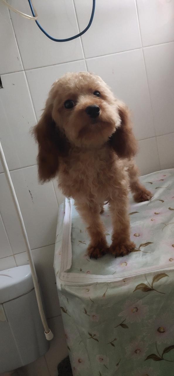 泰迪6個月大