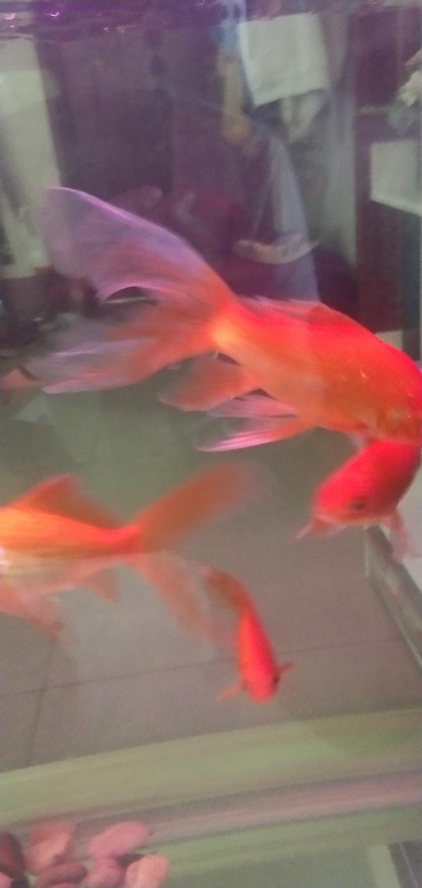 20厘米金魚五條四紅一白