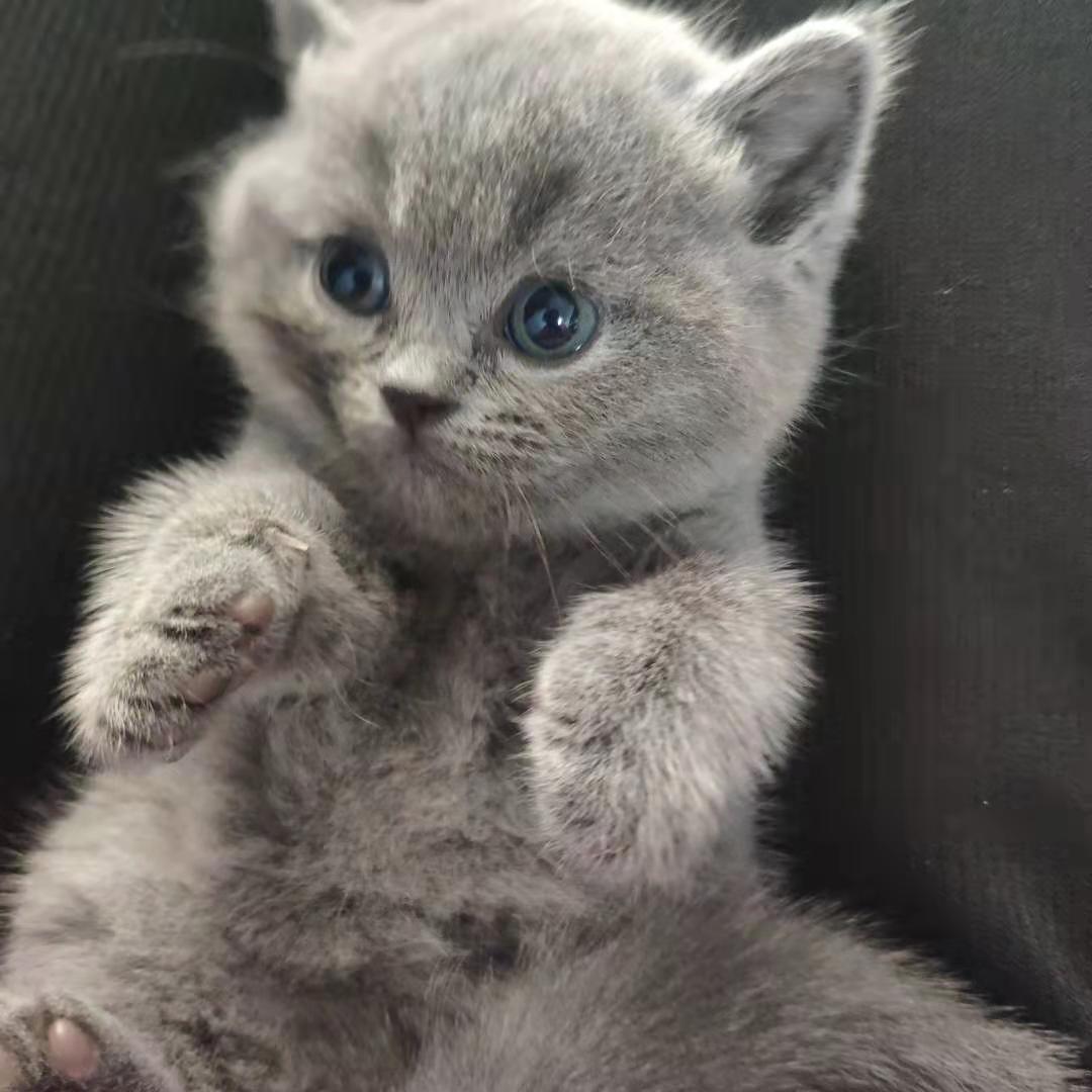 出售满月蓝猫一只