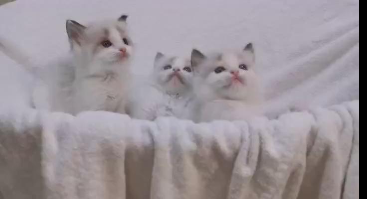 家养金吉拉,蓝猫布偶。