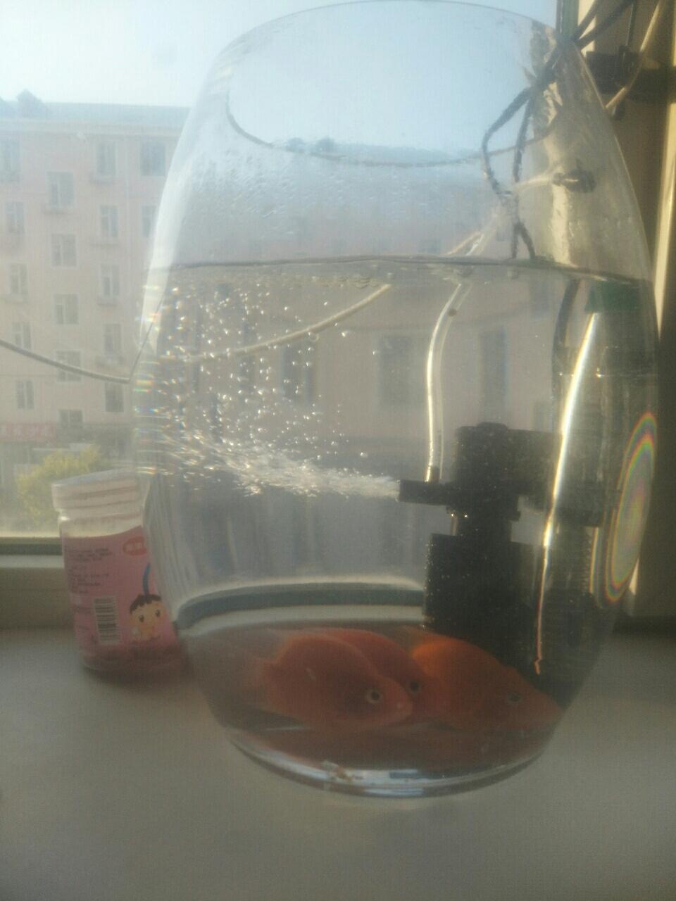三条鹦鹉鱼和鱼缸