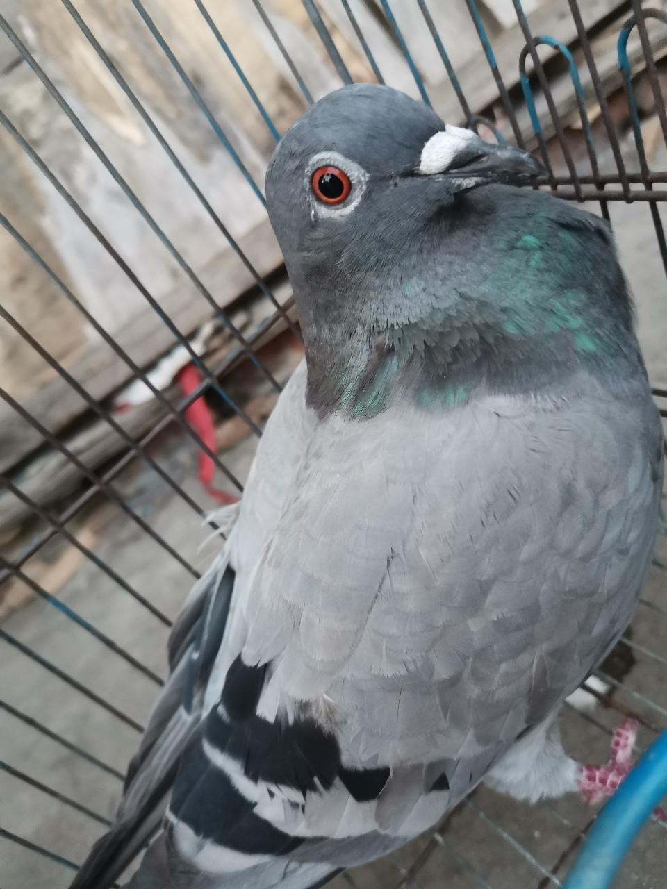 散養鴿子銷售