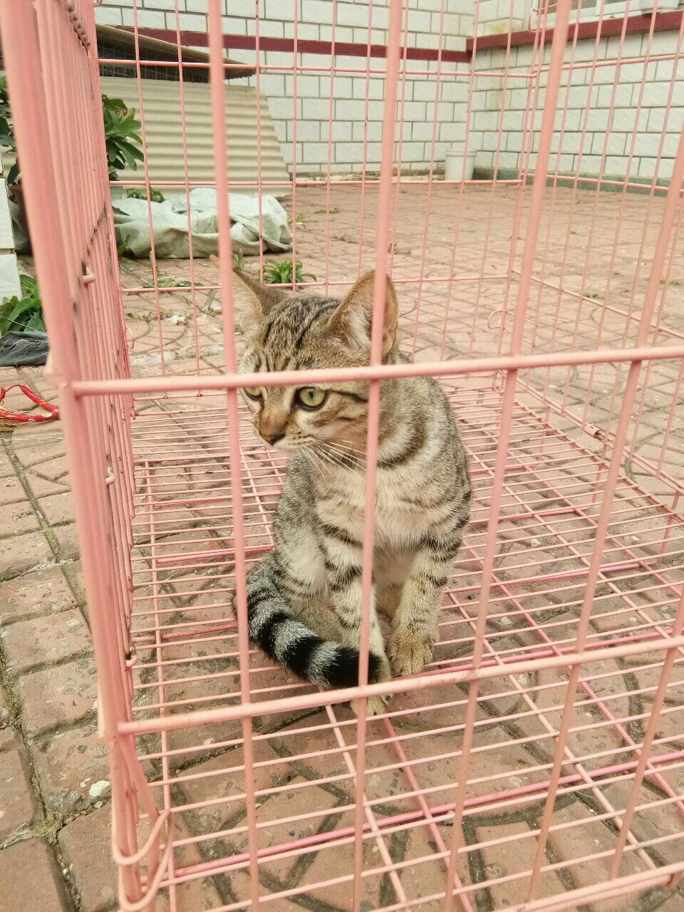 6個月虎班貓咪小母