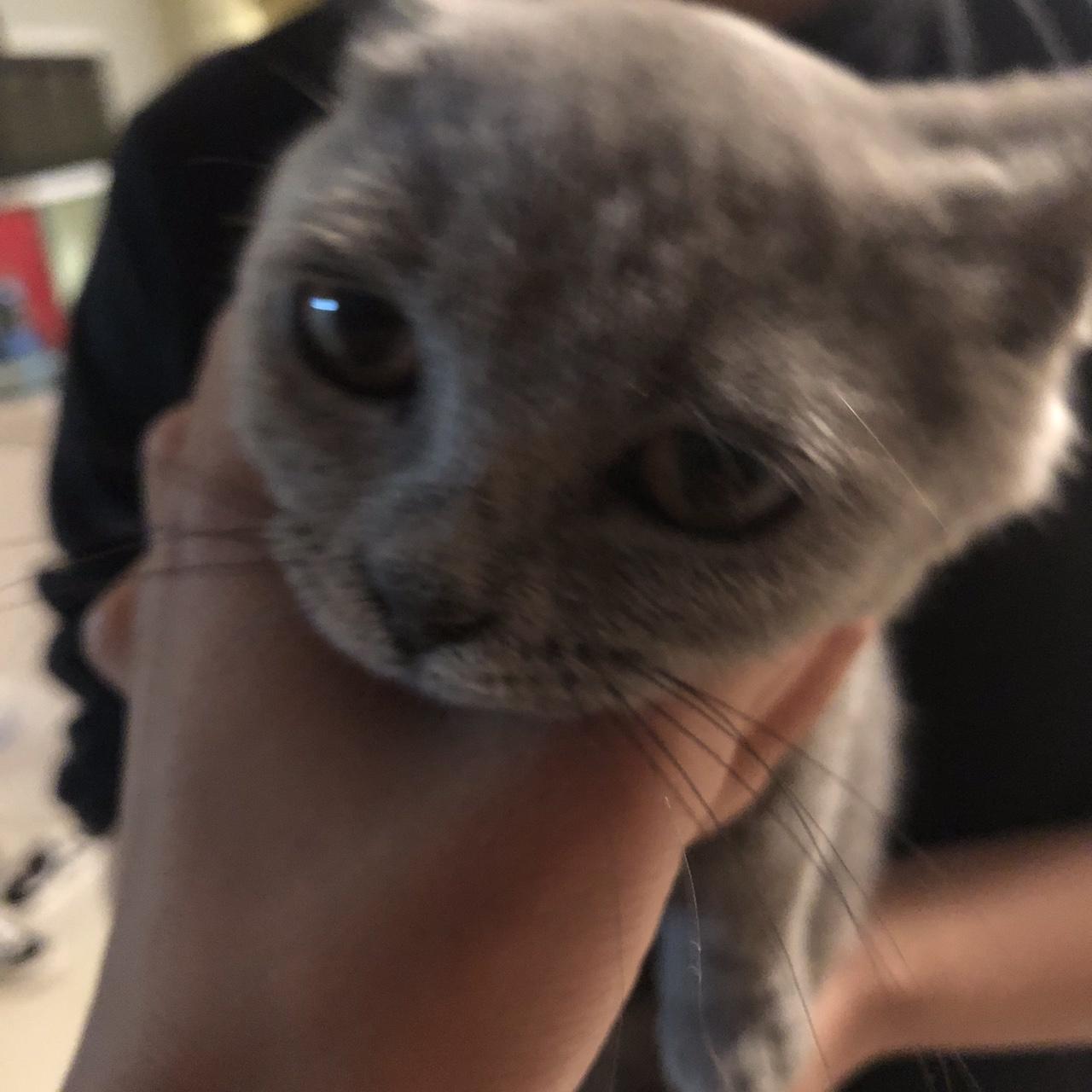 出售藍貓一只