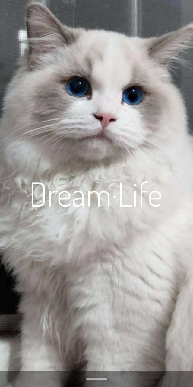 邹城个人双血统布偶猫出售,海双手套均有