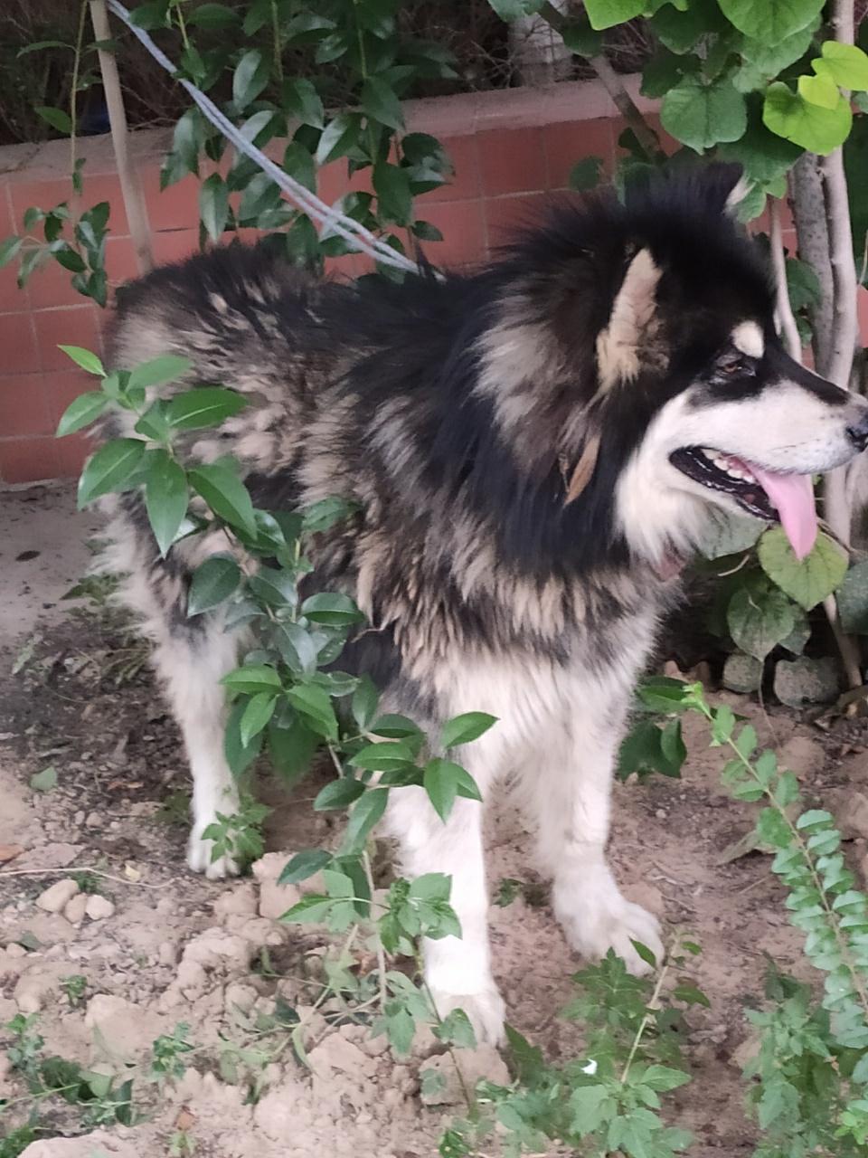 捡到一只宠物狗 阿拉斯加