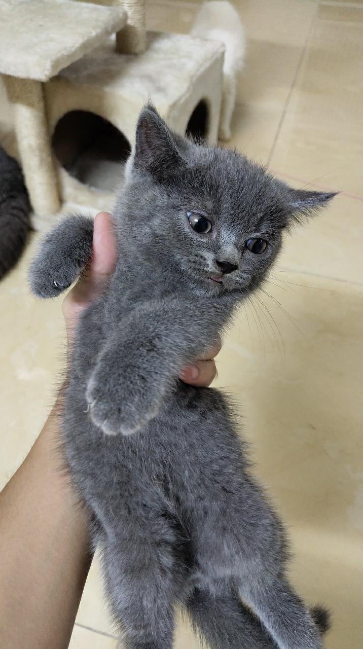 包子圆脸蓝猫妹妹