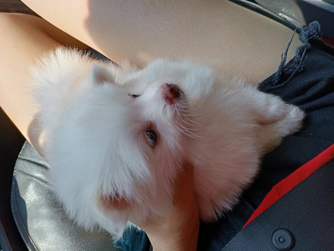 博美幼犬寻找爱心主人