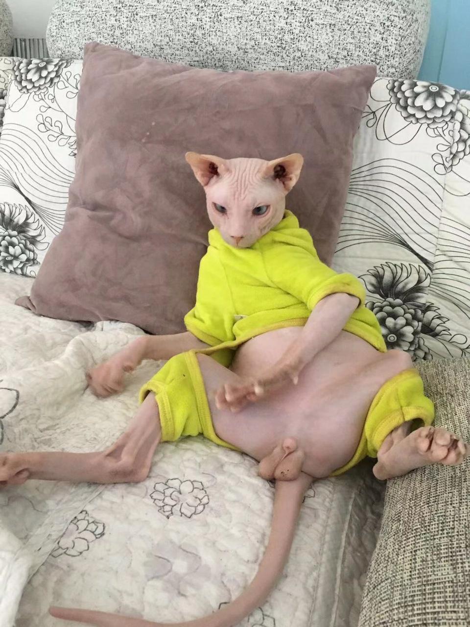 斯芬克斯无毛猫