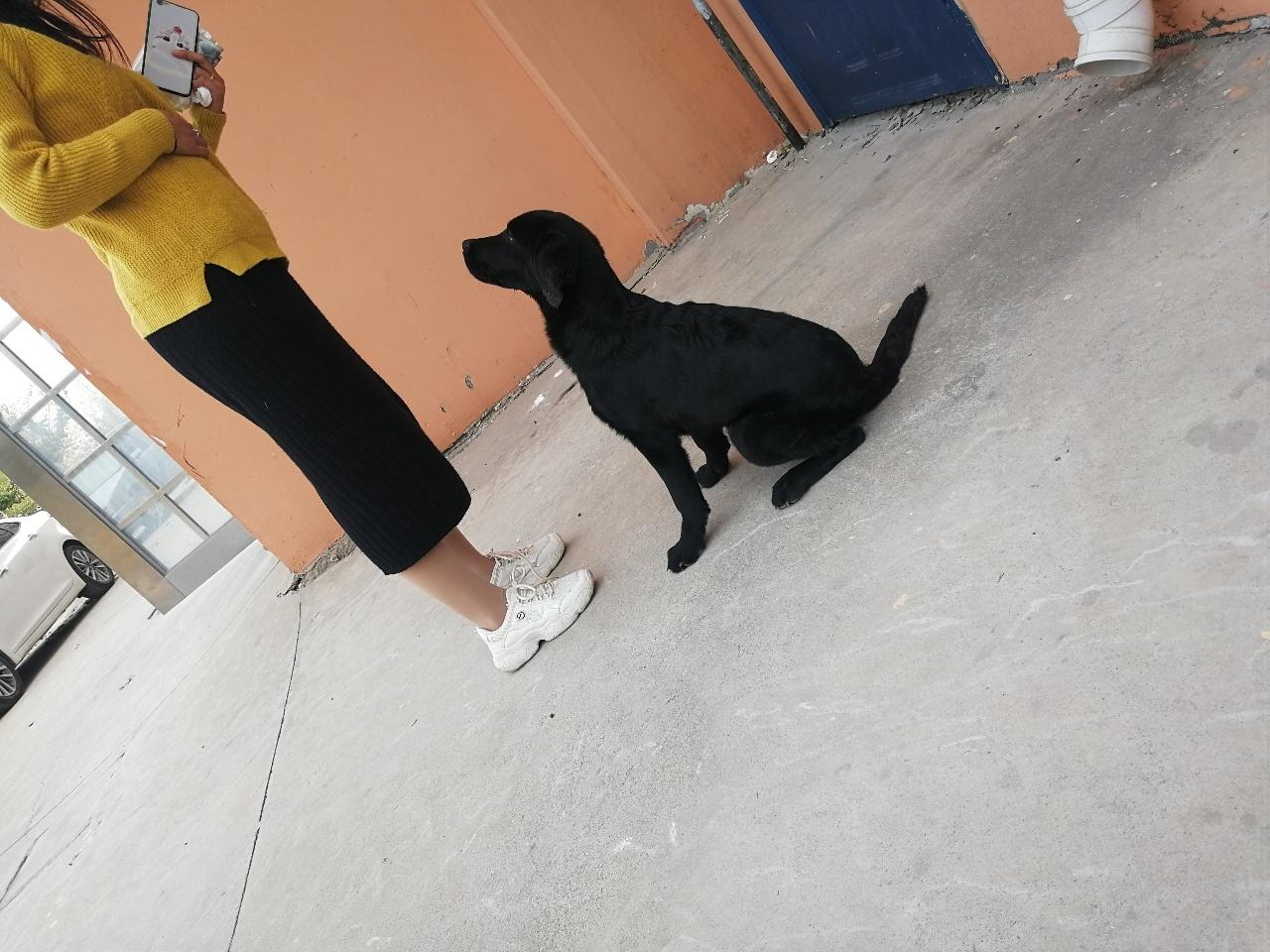 三個月多的拉不拉多犬