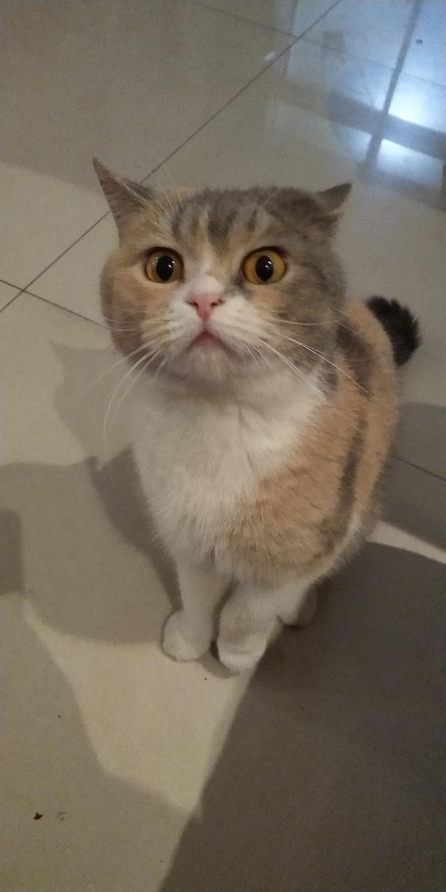 英短猫寻找有缘人