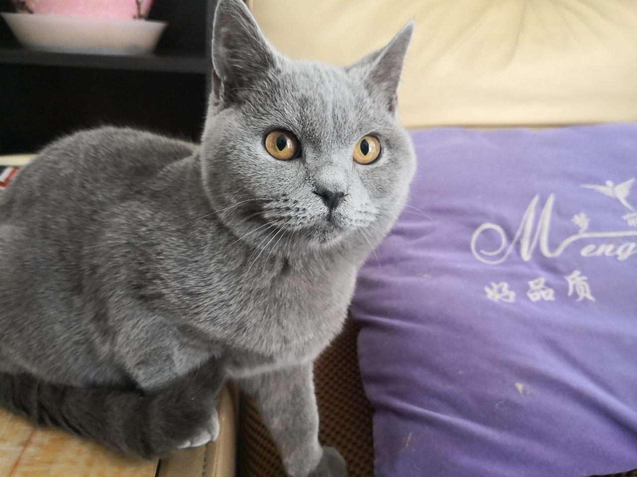 招财蓝猫寻新主人
